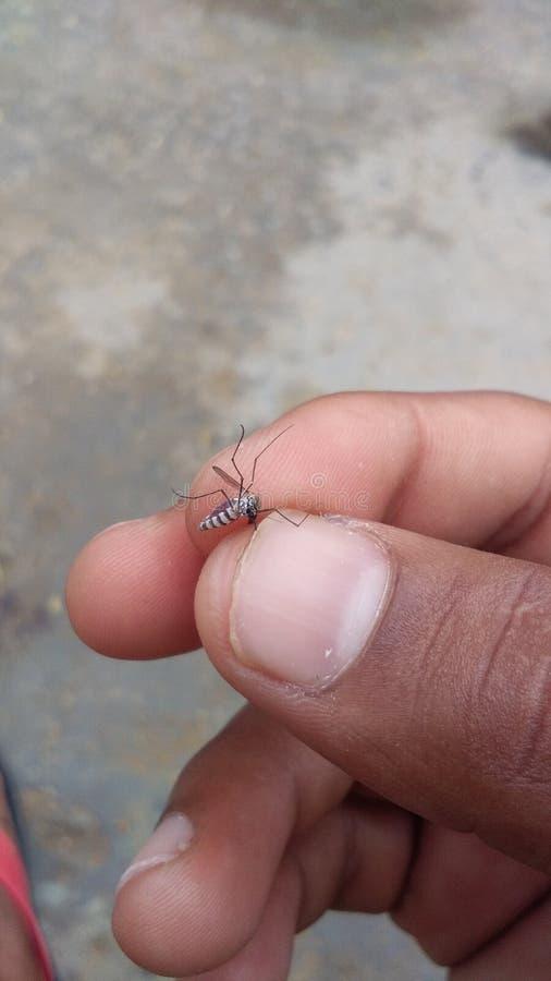 moskito lizenzfreie stockbilder