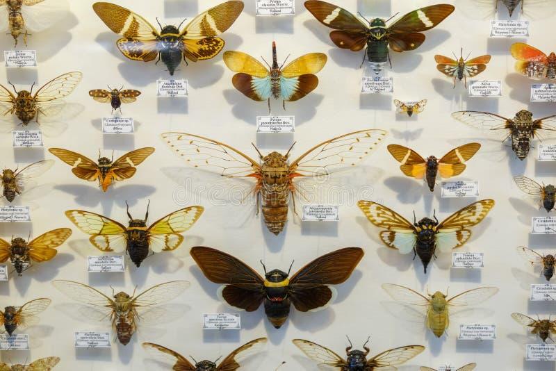 Moskou, Rusland - Maart 12, 2019: Inzameling van droge natuurlijke insecten in de Apothekertuin Reeks van speldinsect binnen royalty-vrije stock afbeeldingen