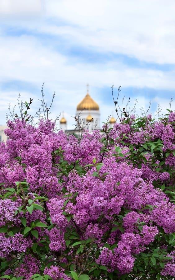 Moskva Ryssland - Maj 13, 2019: Buskar av att blomma lilan och domkyrkan av Kristus fr?lsaren i bakgrunden arkivfoton