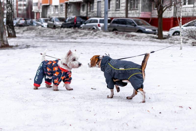 MOSKVA RYSSLAND - MARS 10, 2019: Hundavelbeaglet som går i höst, parkerar med snö royaltyfri bild