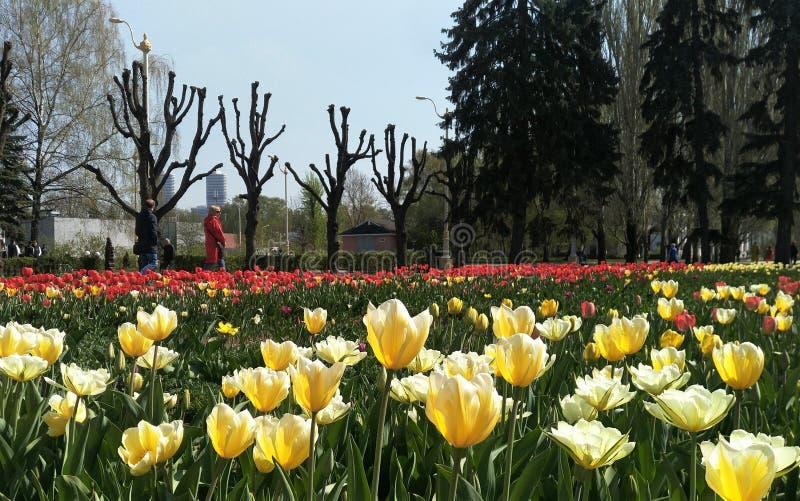 Moskwa, maj 03, 2019Field biali tulipany na ciemnym tle, ludzie chodzi wzdłuż ścieżki obrazy stock