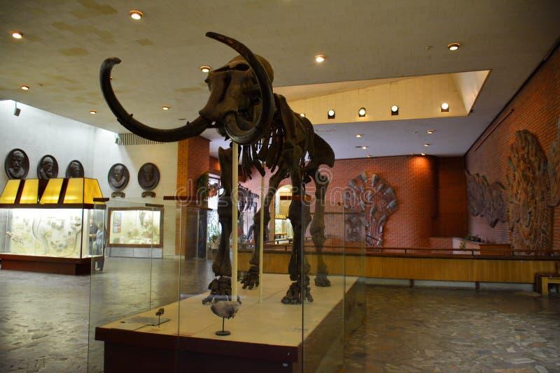 MOSKWA, ROSJA: 06 09 2015 - Kościec mamut w sala zdjęcie stock