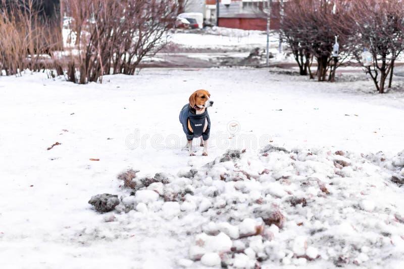 MOSKWA ROSJA, MARZEC, - 10, 2019: Psi trakenu Beagle odprowadzenie w jesień parku z śniegiem zdjęcia royalty free