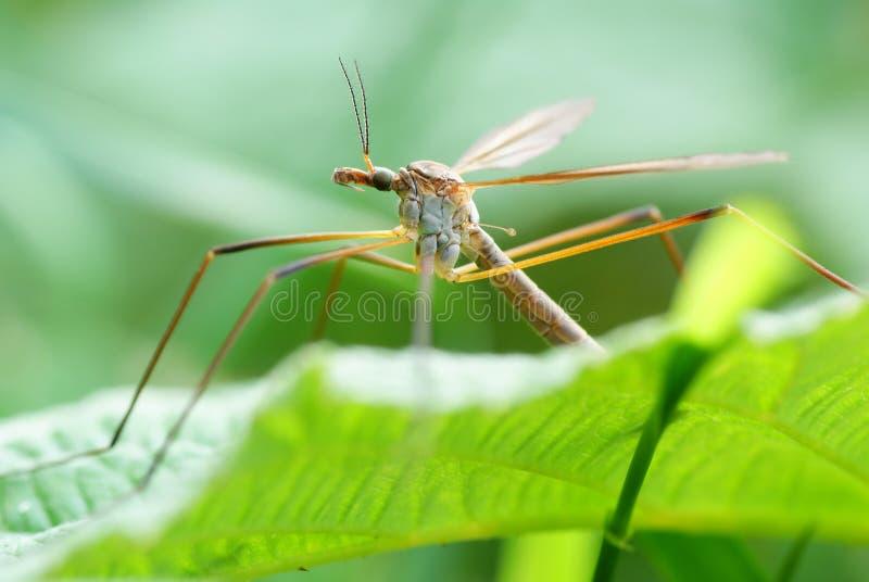 Mosquito fotos de stock royalty free