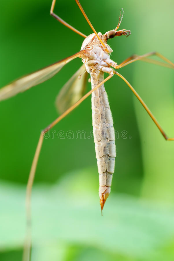 Mosquito stock photography