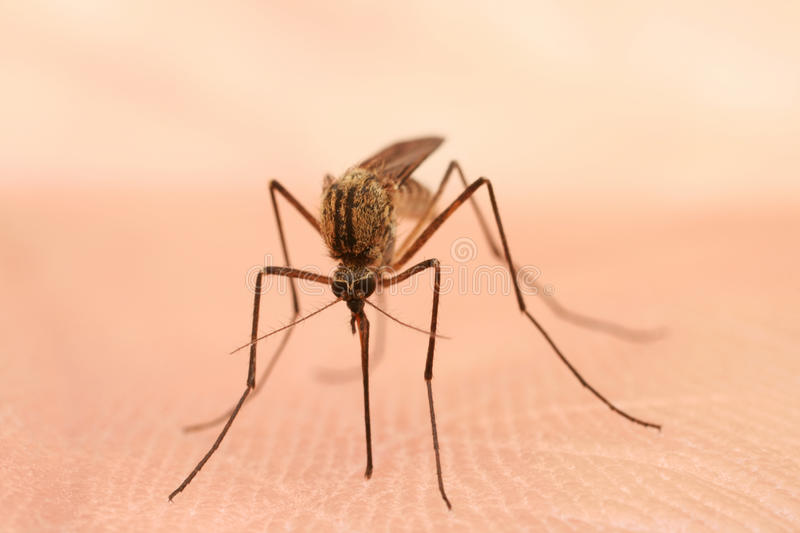 Mosquito foto de stock royalty free