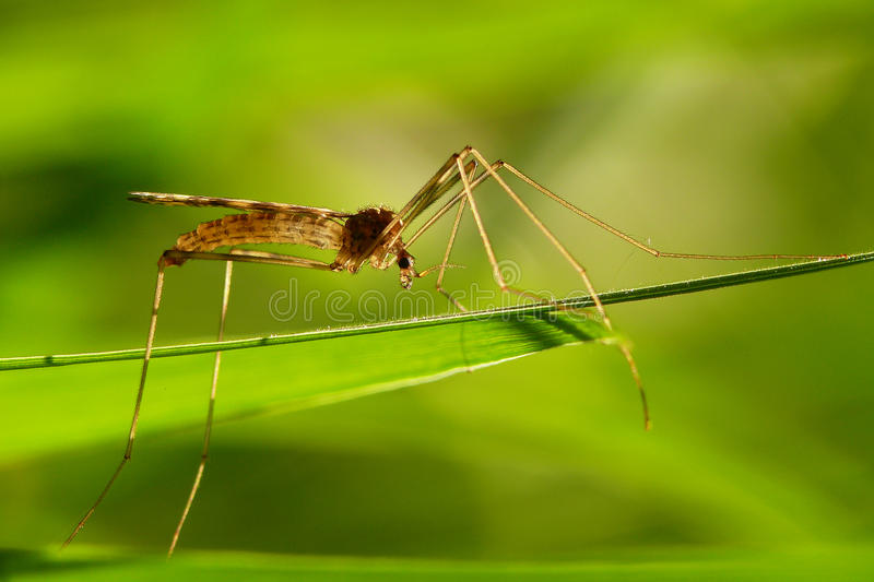 Download Mosquito Stock Image - Image: 17058431
