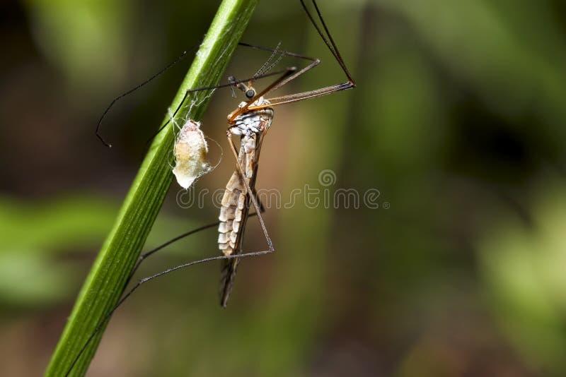 Mosquito fotos de archivo libres de regalías