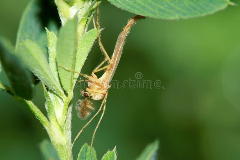 Mosquito foto de stock royalty free