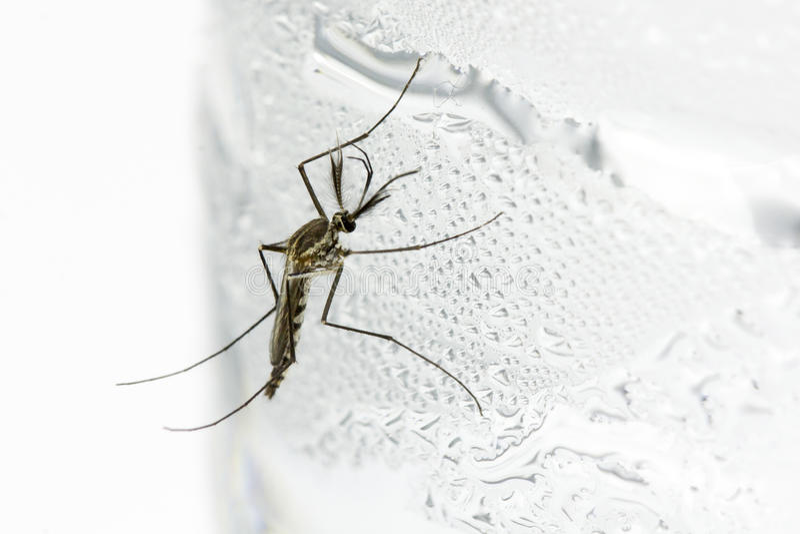 Download Mosquito stock image. Image of detail, dengue, dipterus - 26431707