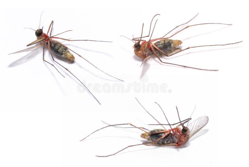 Mosquito imagens de stock royalty free