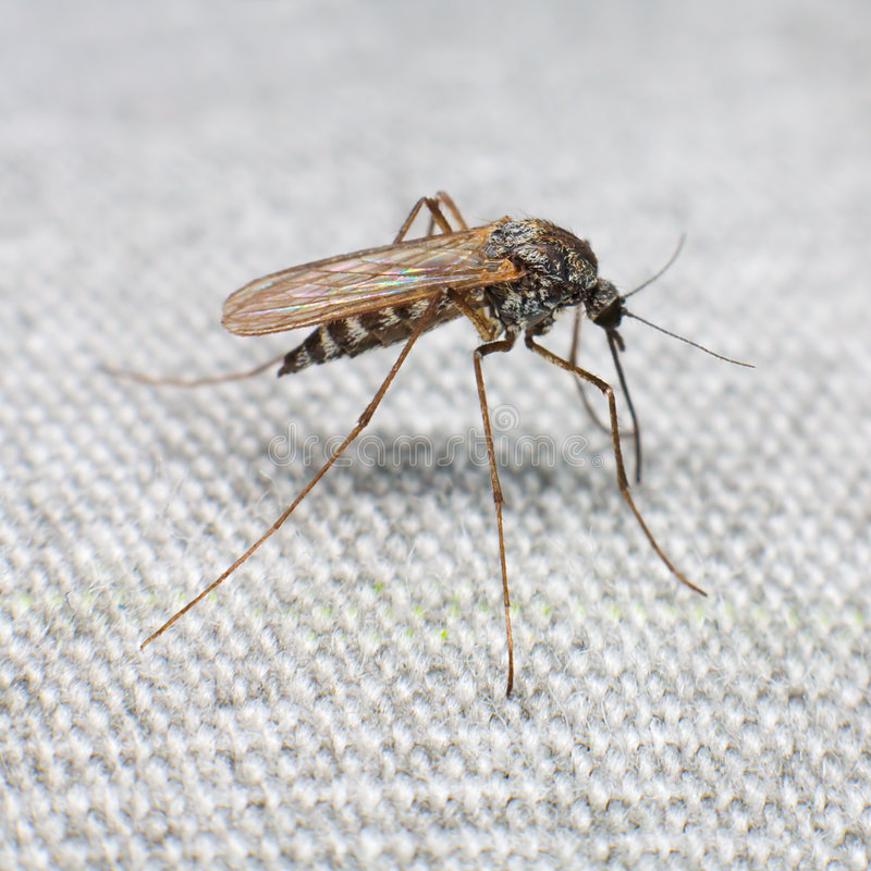 Mosquito. Trying to bite through a matter stock photography