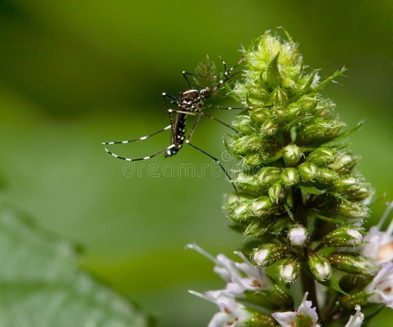 Mosquito foto de stock