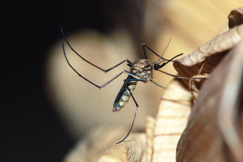 mosquito imagen de archivo