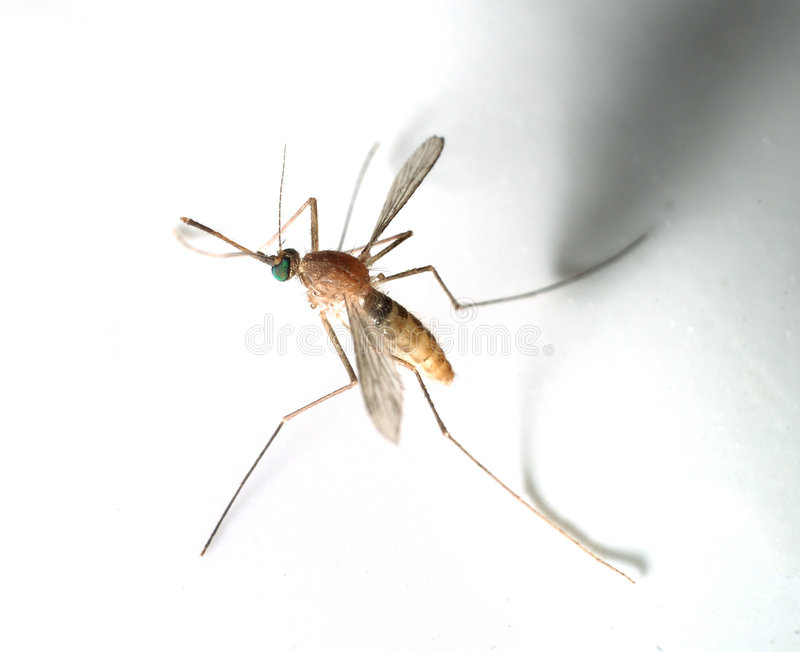 Download Mosquito stock photo. Image of life, detail, breathe, close - 7828638