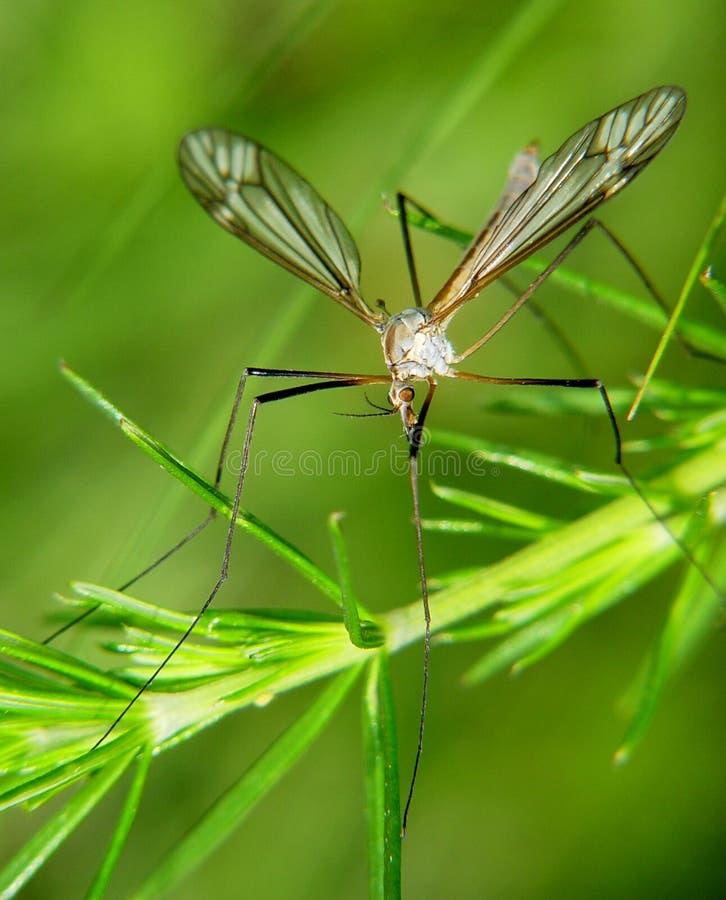 Mosquito fotografia de stock