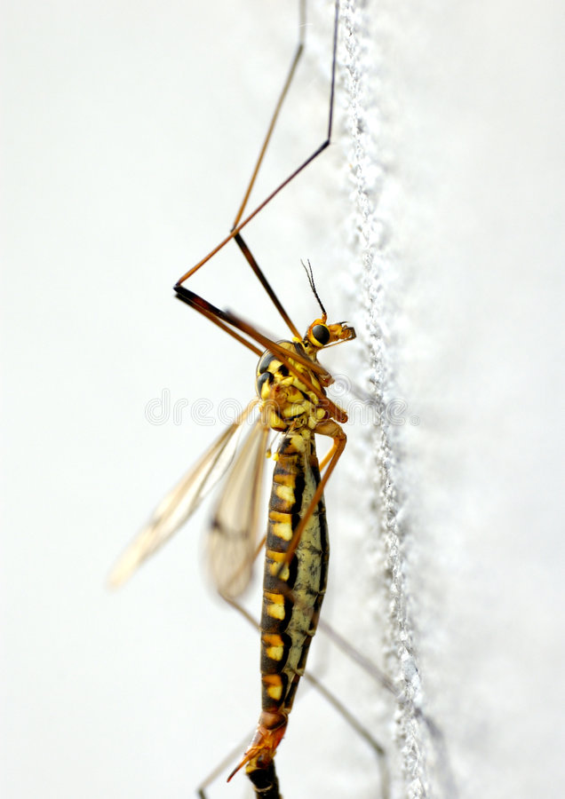 Mosquito. In the white walls are of mating two mosquito royalty free stock photos