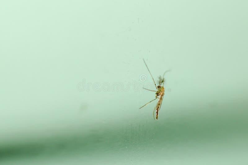 Mosquito ascendente cercano sobre el vidrio verde en Tailandia fotografía de archivo libre de regalías
