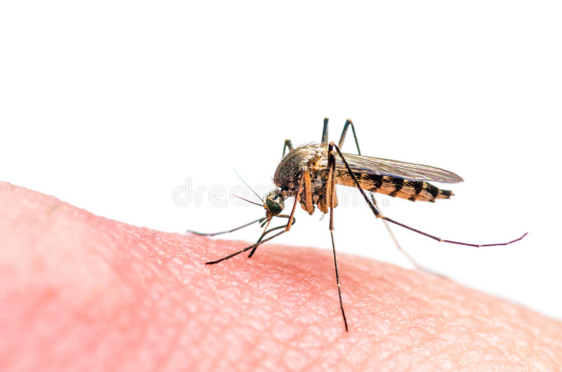 Mosquito bite isolated on white royalty free stock photo