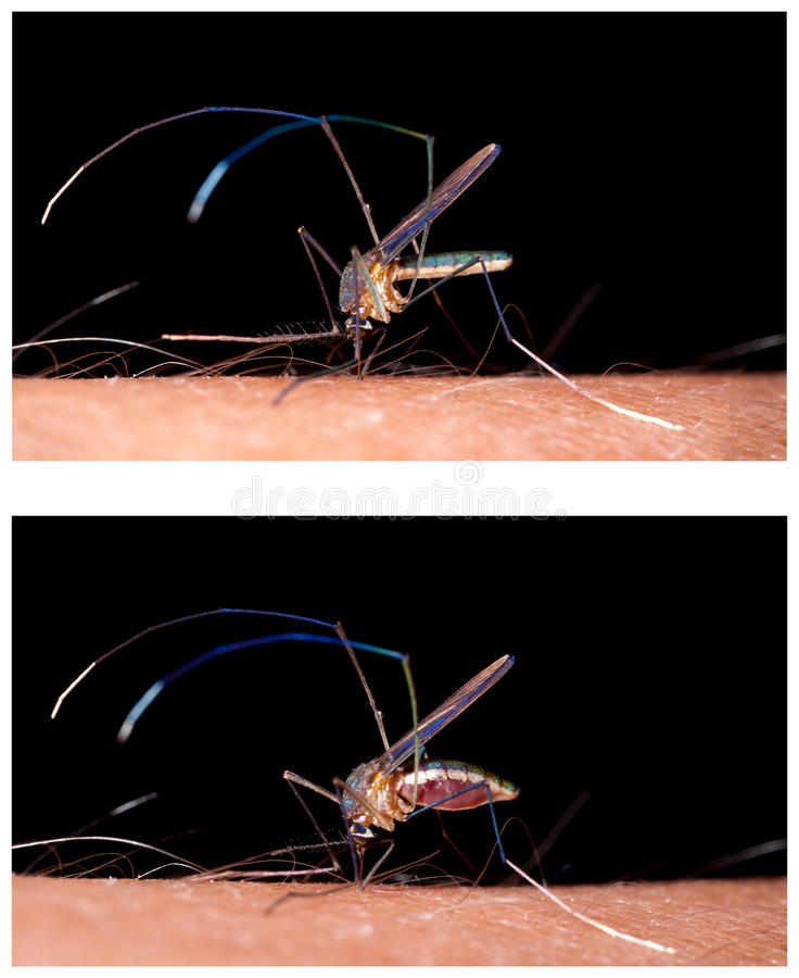Mosquito biting human skin. Drinking blood - before and after royalty free stock photography
