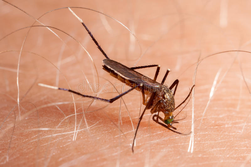Mosquito biting human skin. Drinking blood royalty free stock photography