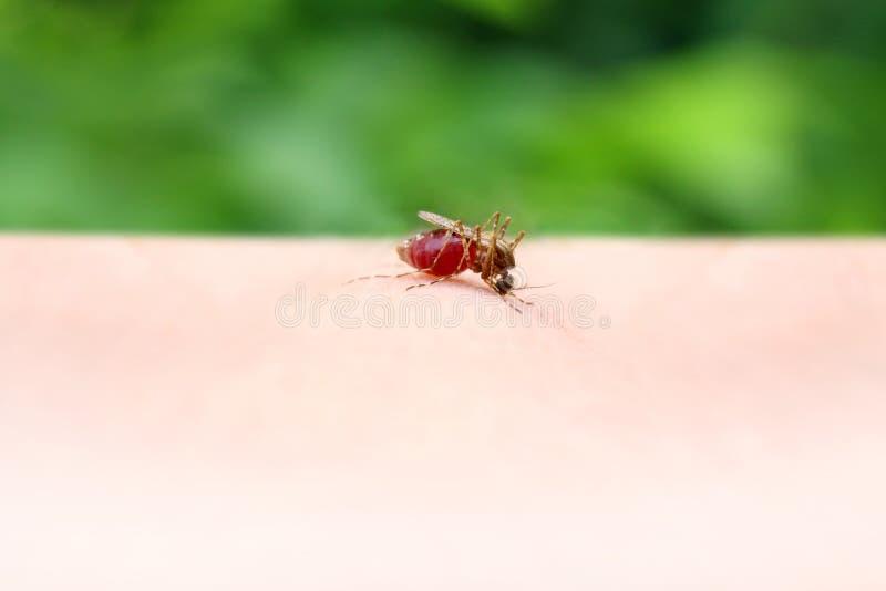 Mosquito, cierre rojo sangre que chupa del mosquito encima del foco selectivo foto de archivo