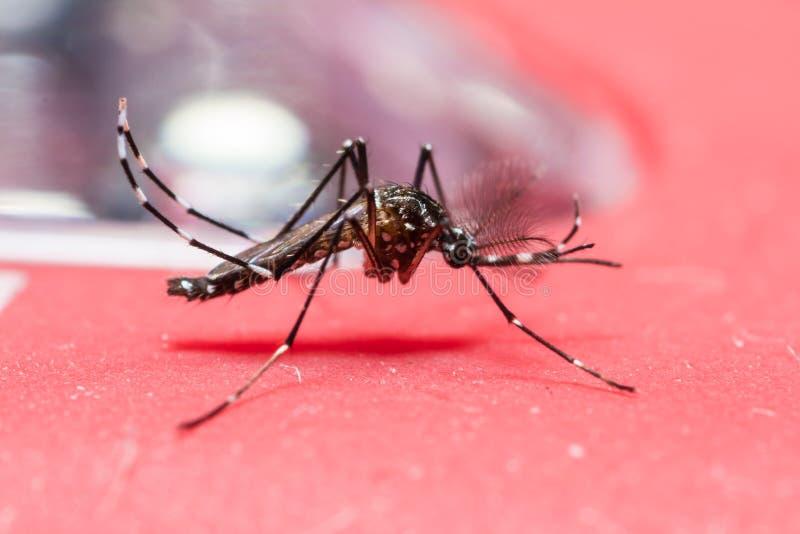 Mosquito da febre amarela imagens de stock