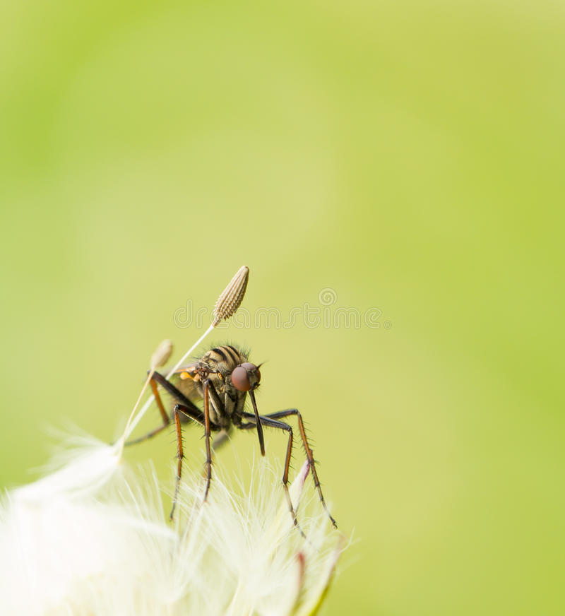 Mosquito on a dandelion stock images