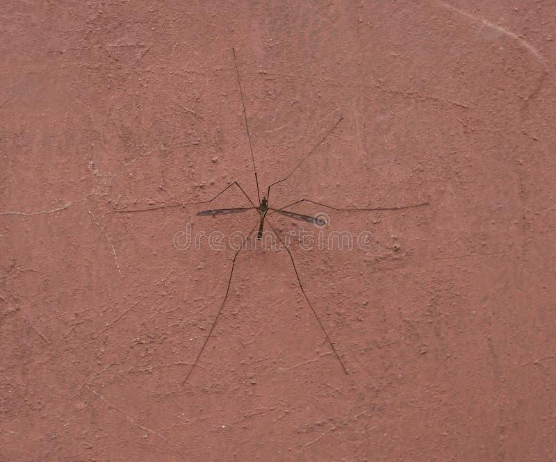 Mosquito de gran tamaño en la pared roja imagen de archivo libre de regalías