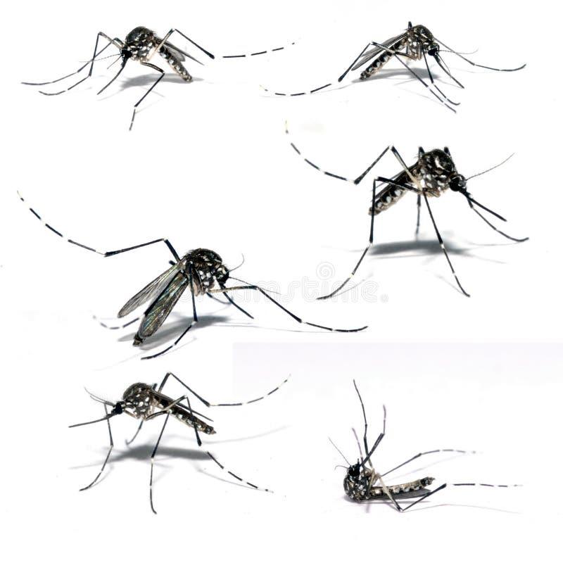 Mosquito de la dengue fotografía de archivo