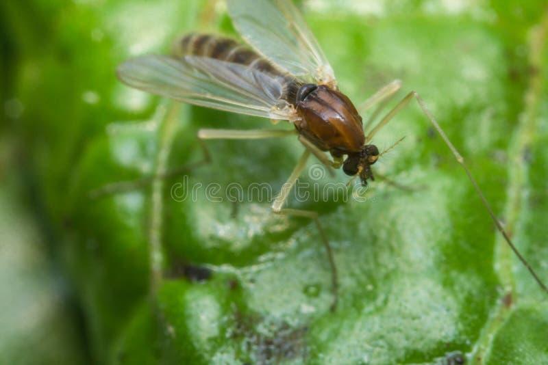 Mosquito de la mosca de arena imagen de archivo