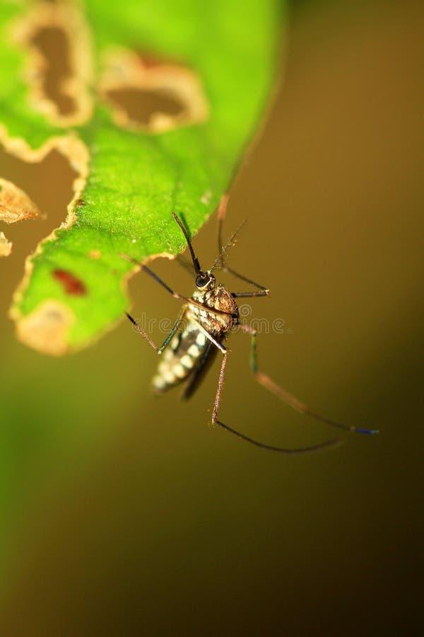 Mosquito de malaria fotografía de archivo libre de regalías