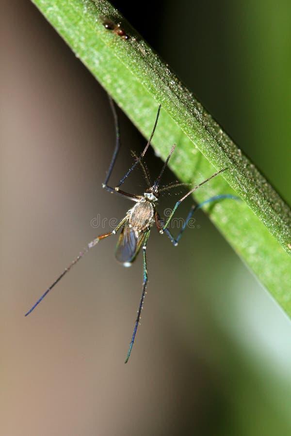 Mosquito de malaria fotos de archivo libres de regalías