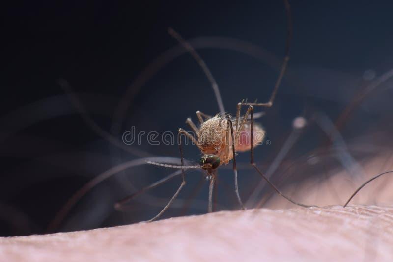 Mosquito do mosquito imagens de stock