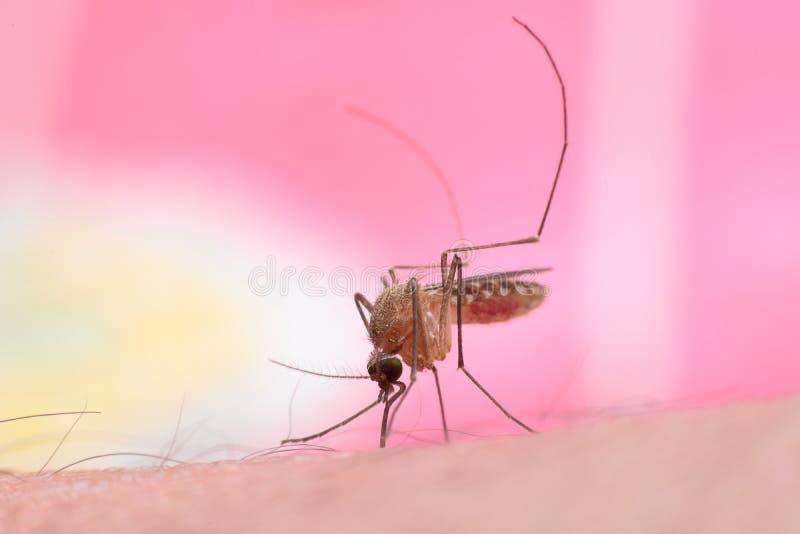 Mosquito do mosquito imagem de stock royalty free