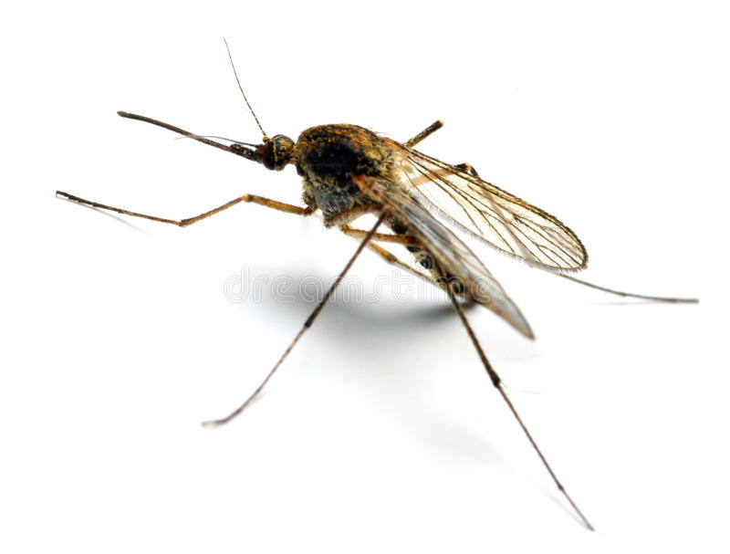 Mosquito dos anófeles foto de stock royalty free