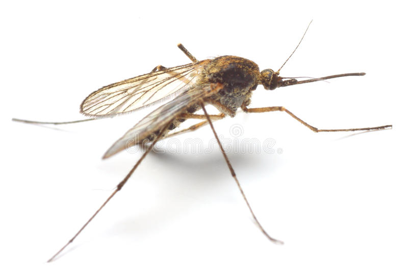 Mosquito dos anófeles fotos de stock