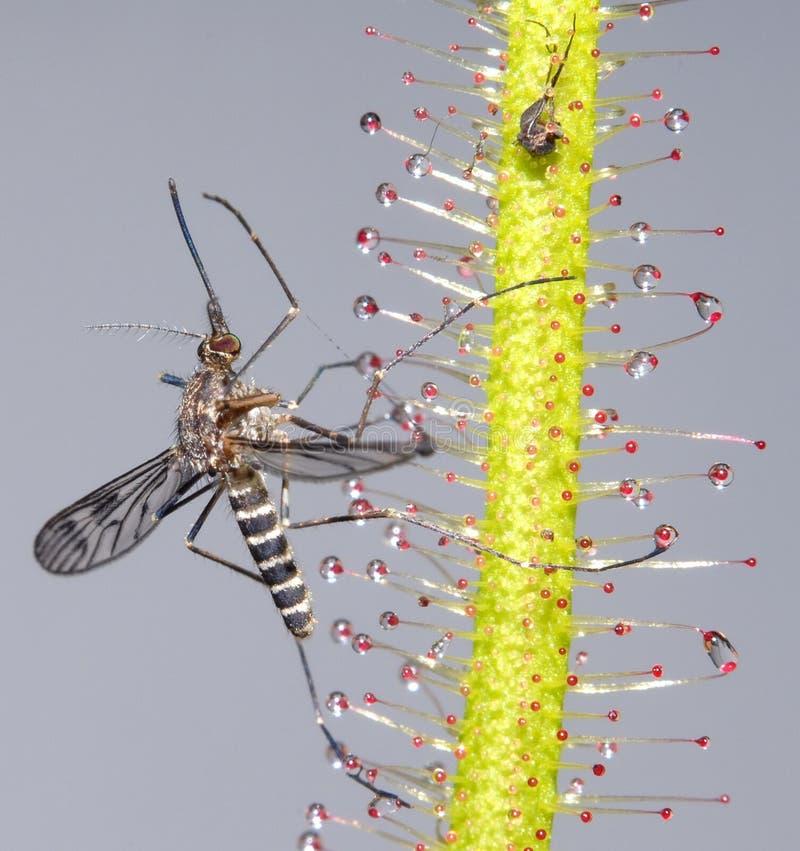 Mosquito em Sundew foto de stock royalty free