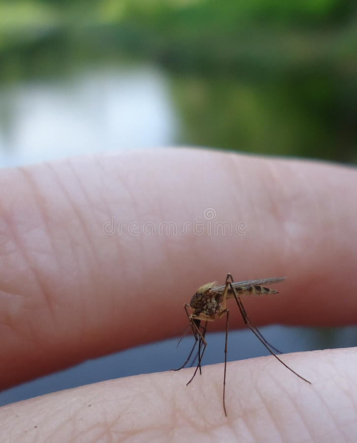 Mosquito en el finger fotografía de archivo libre de regalías