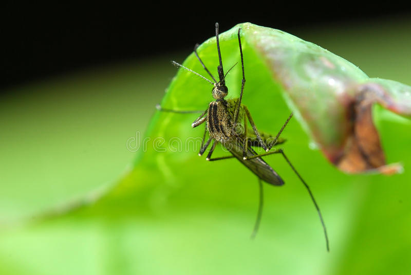 Mosquito en la hoja verde imágenes de archivo libres de regalías