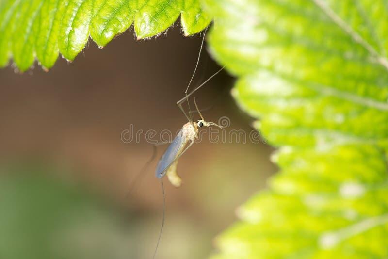 Mosquito en naturaleza Macro fotos de archivo libres de regalías