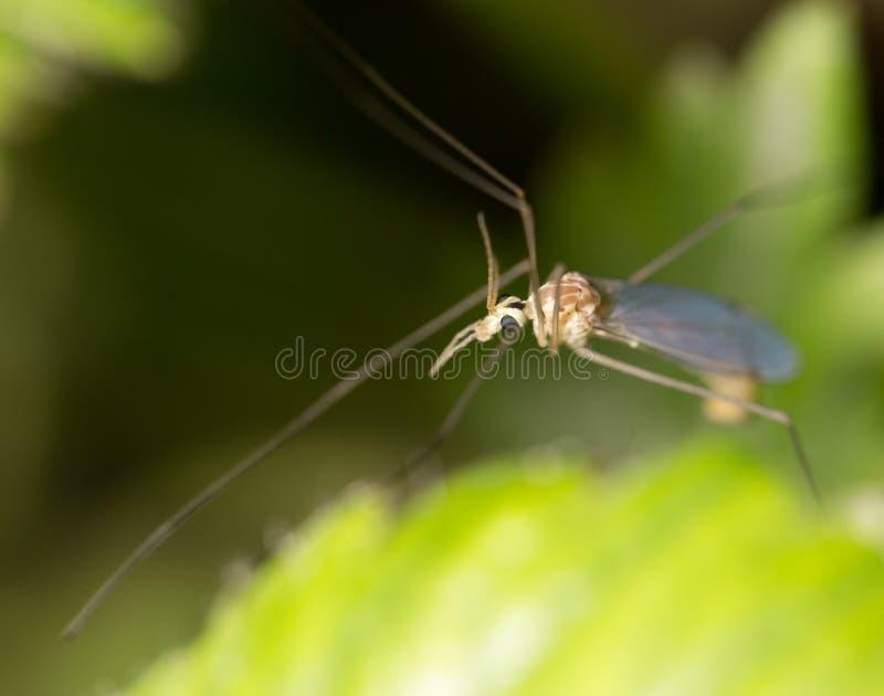 Mosquito en naturaleza Macro imágenes de archivo libres de regalías