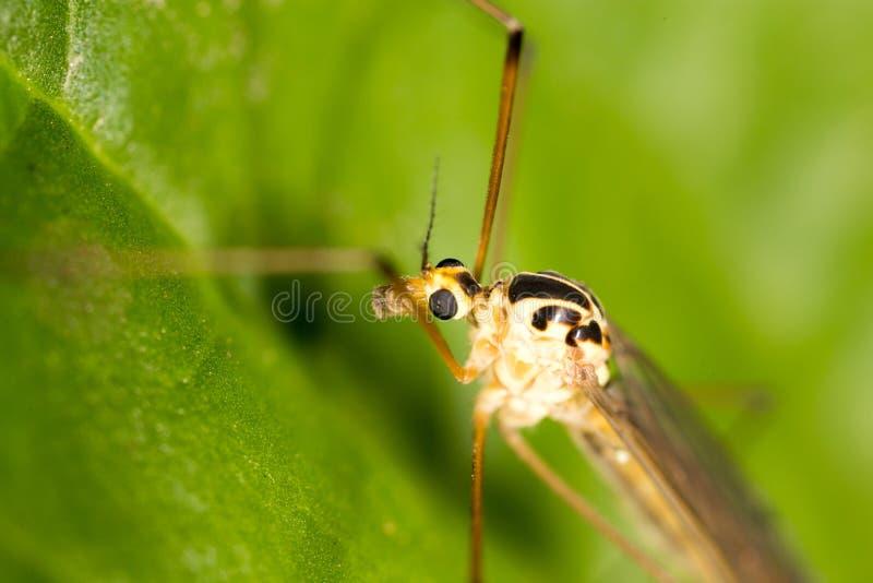 Mosquito en naturaleza Macro fotografía de archivo libre de regalías