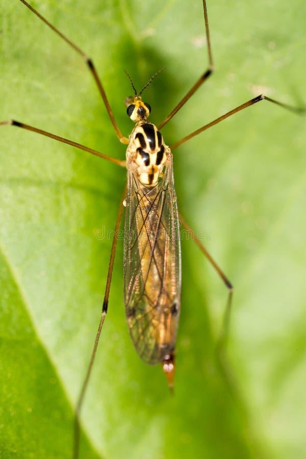 Mosquito en naturaleza Macro fotos de archivo