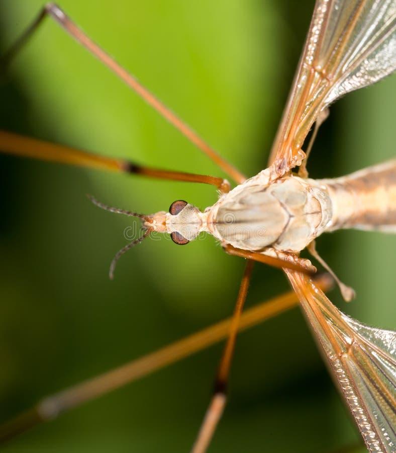 Mosquito en naturaleza Macro fotografía de archivo