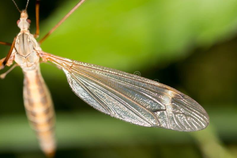 Mosquito en naturaleza Macro foto de archivo