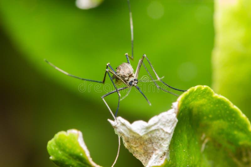 Mosquito en una hoja verde al revés imagen de archivo libre de regalías