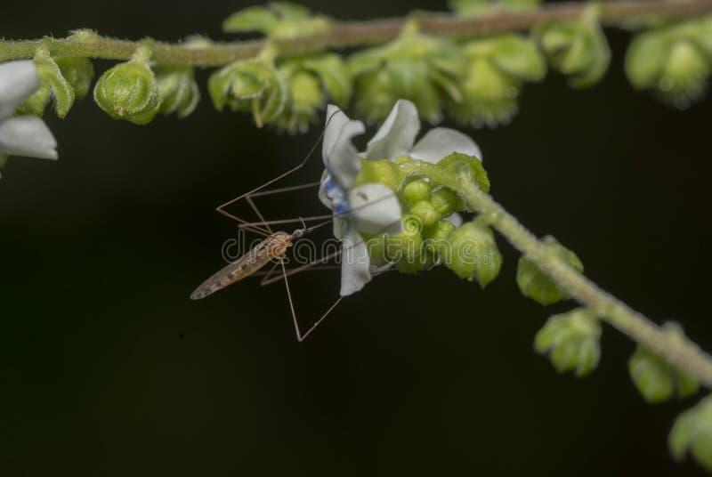 Mosquito feeding on flower nector. Seen near Mulshi Lake Maharashtra stock photo