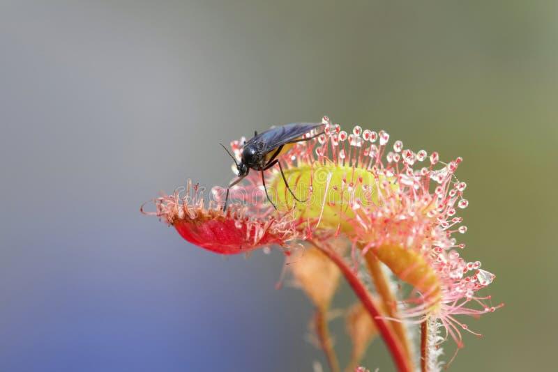 mosquito fungoso Oscuro-con alas como presa de la drosera común imagen de archivo libre de regalías