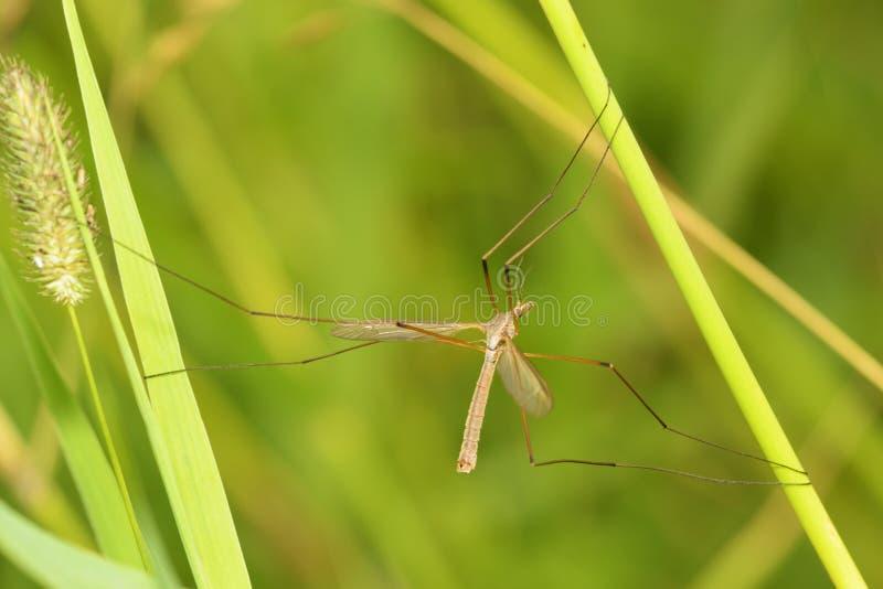 Mosquito grande que se arrastra en la hierba foto de archivo